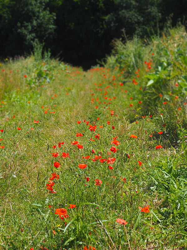 Hale Wood poppies